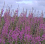 rosebay willowherb..