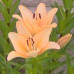 lily peach