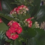 kalanchoe from elizabeth