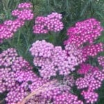 yarrow red2