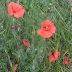 poppies wild im000580