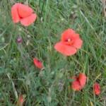 poppies wild im000580