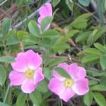 wild rose im000051