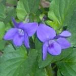 wood violet im000176