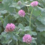 red clover im000556