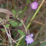 dwarf fireweed im000490