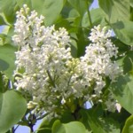 white lilac im000162