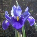 iris reticulata im000881