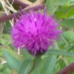 knapweed im000438