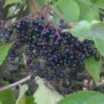elder berries im000302