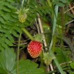 wild strawberry fruit im000600