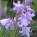 bluebell lilac im000165 150