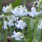 bluebell white im000164 150
