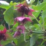 himalayan honeysuckle