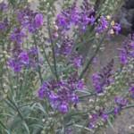 toadflax purple