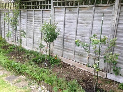 garden fruit trees victoria plum concorde pear katy apple planted just lyli