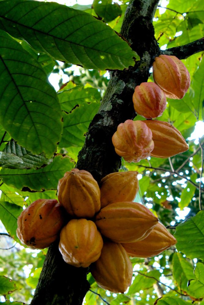 fruits of the theobroma cacao tree - lylia rose healthy chocolate blog post