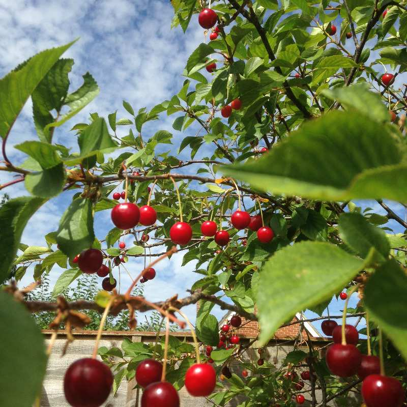 garden cherry tree in july with sky - lylia rose uk lifestyle garden blogge