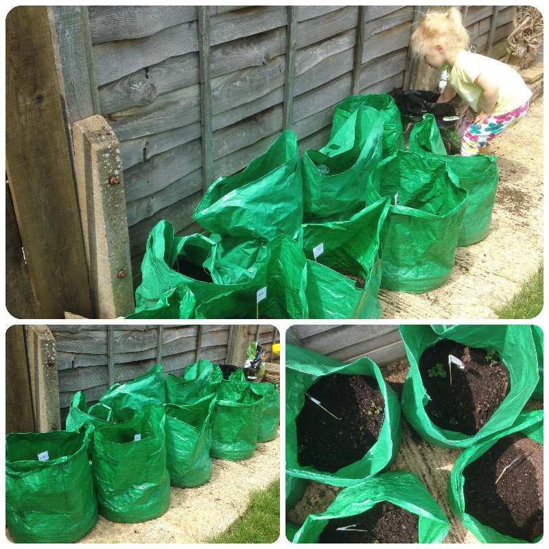 grow your own veg potatoes late charlotte nicola maris peer bags sacks - ly