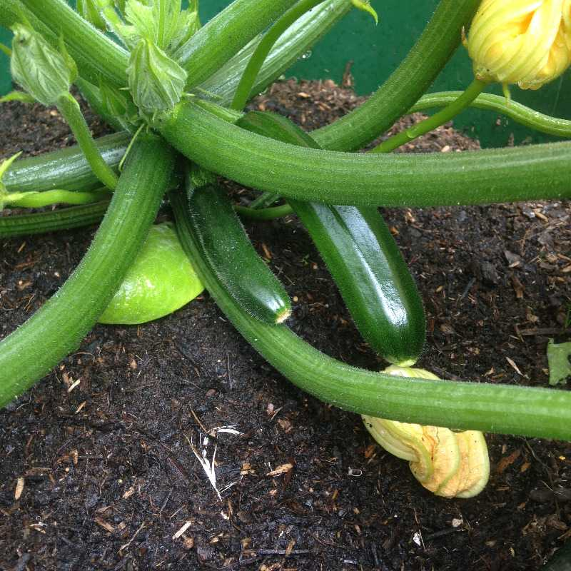 grow your own patio container veg courgettes tomato - lylia rose uk lifesty
