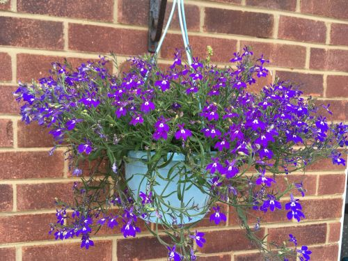 Making our garden pretty purple hanging basket patio lylia rose blog