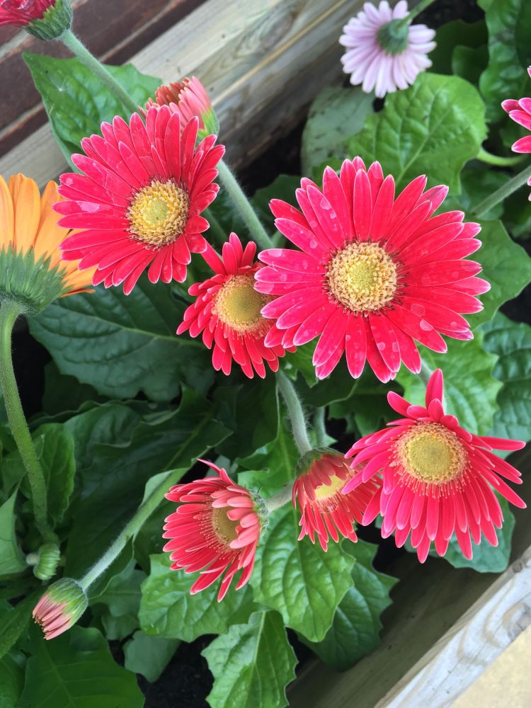 Making our garden pretty gerbera patio flowers lylia rose blog