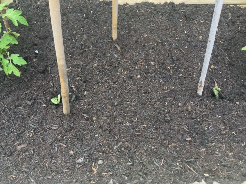 blooma veg trug grow your own patio vegetables lylia rose garden blog green beans sprouting
