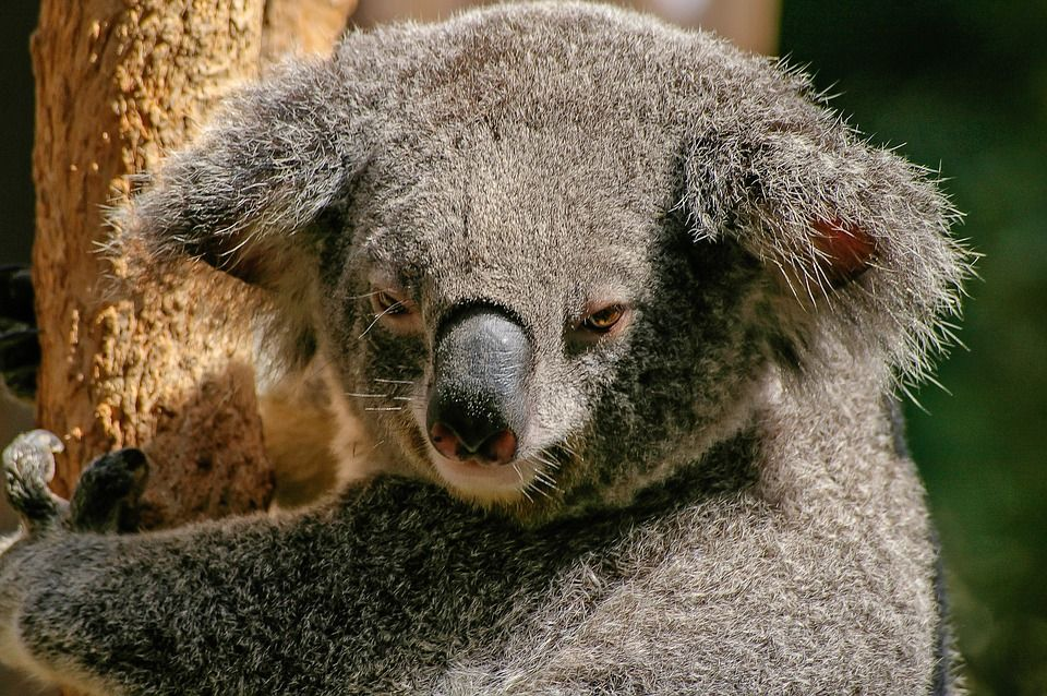 Koala picture from blog post Travel Bucket List Australia 6 reasons I want