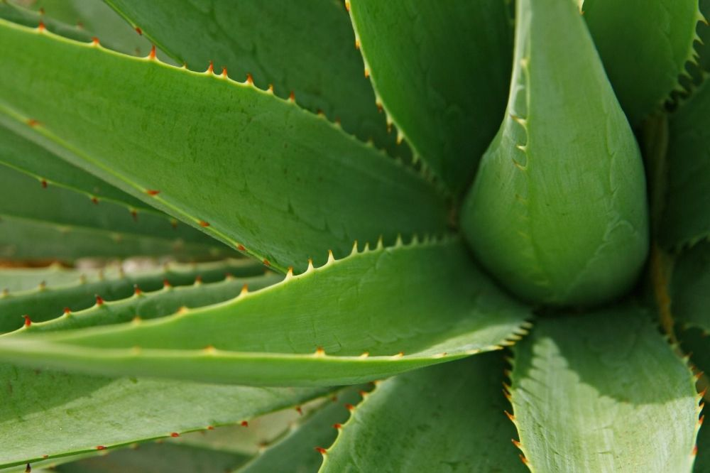 Achieve natural beauty with these holistic health tips aloe vera