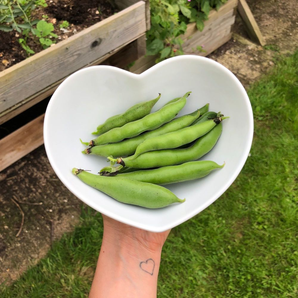 home grown broad beans