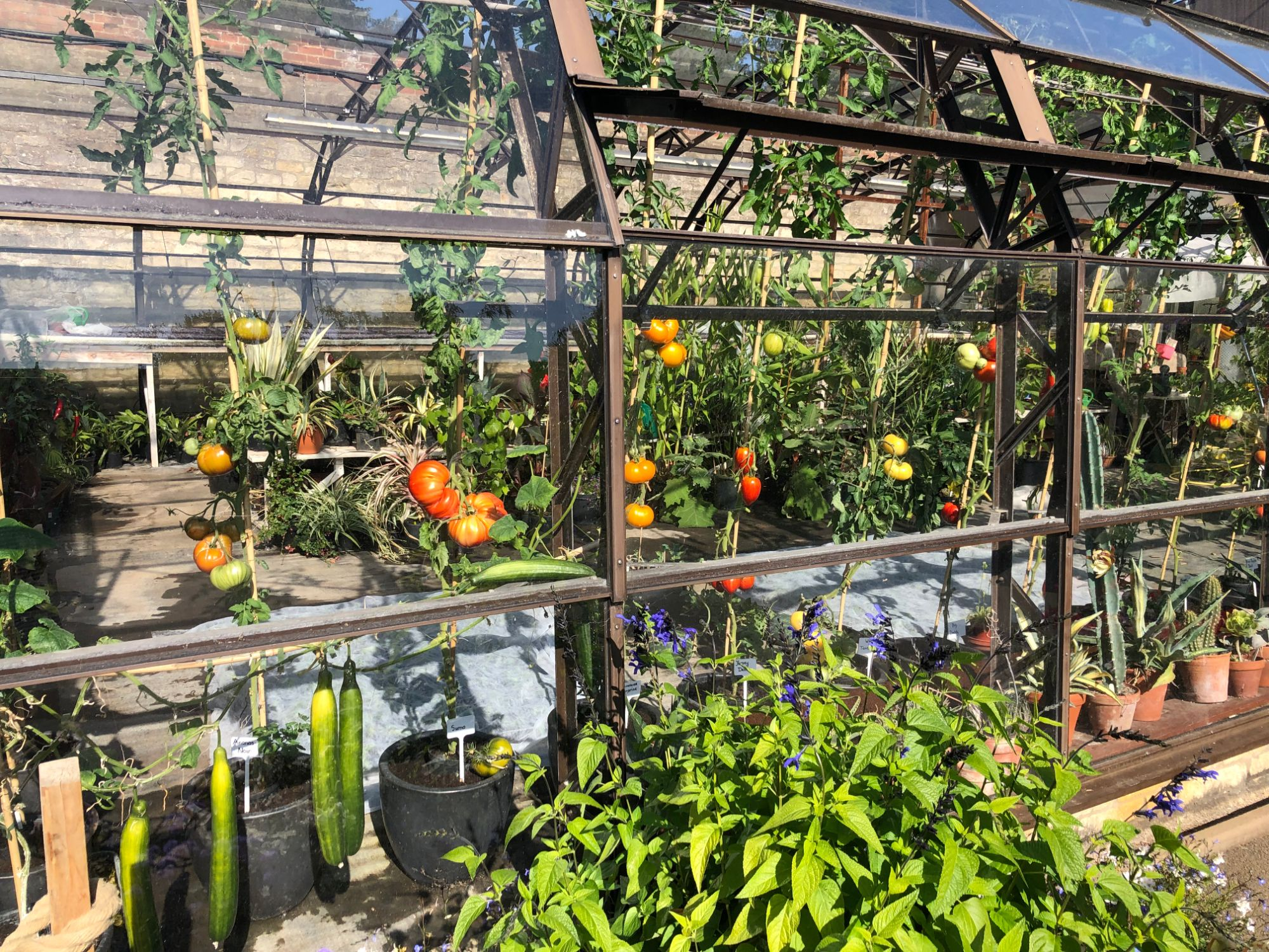 free stock image photo greenhouse growing tomatoes
