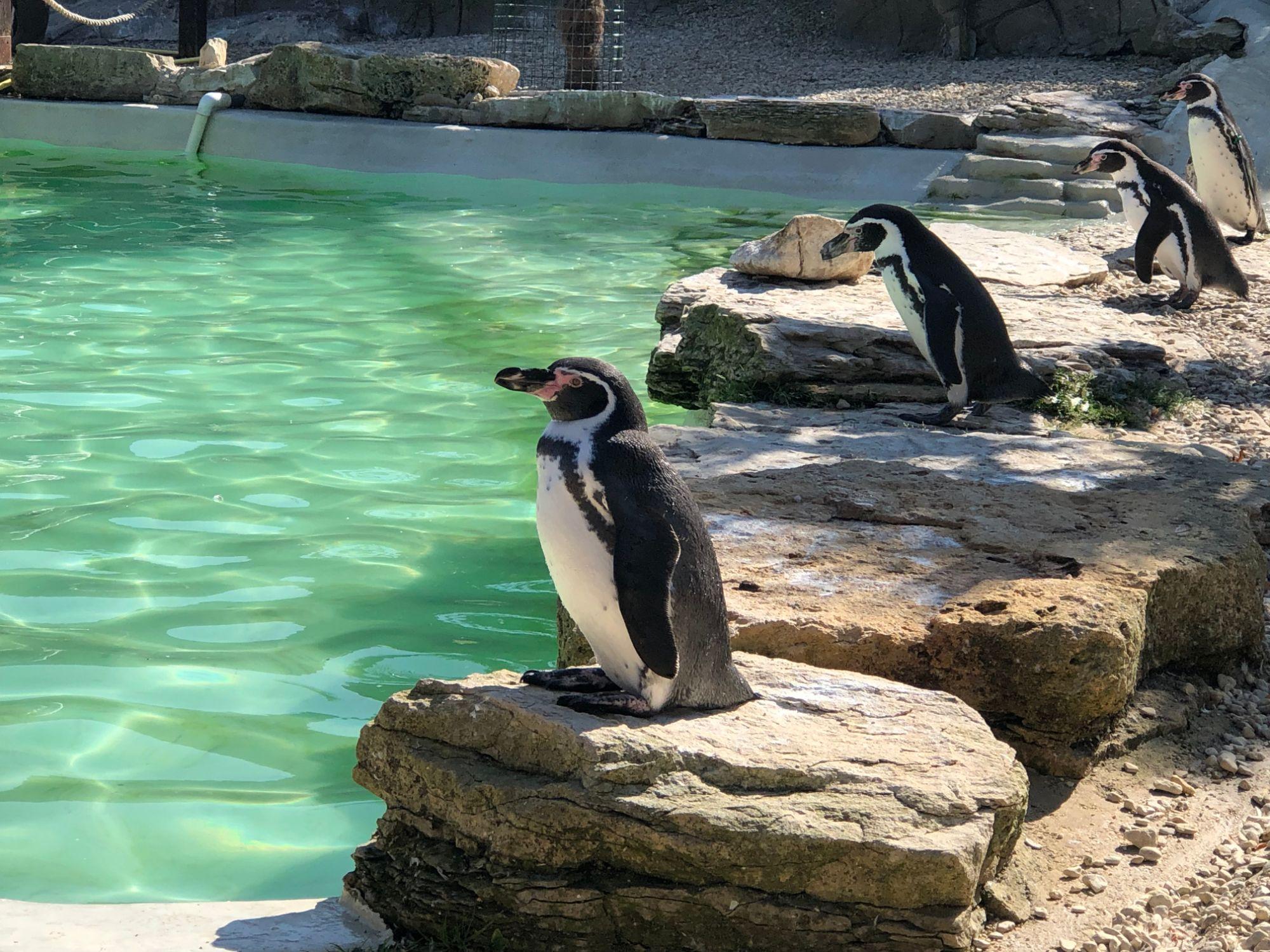 free stock image photo penguins wildlife park