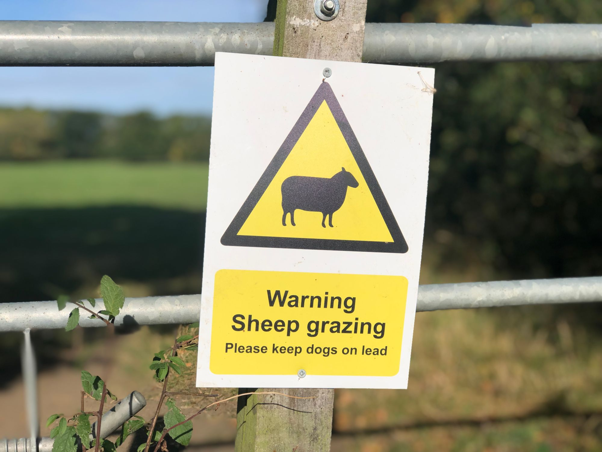 free stock image photo warning sheep grazing dogs on leads