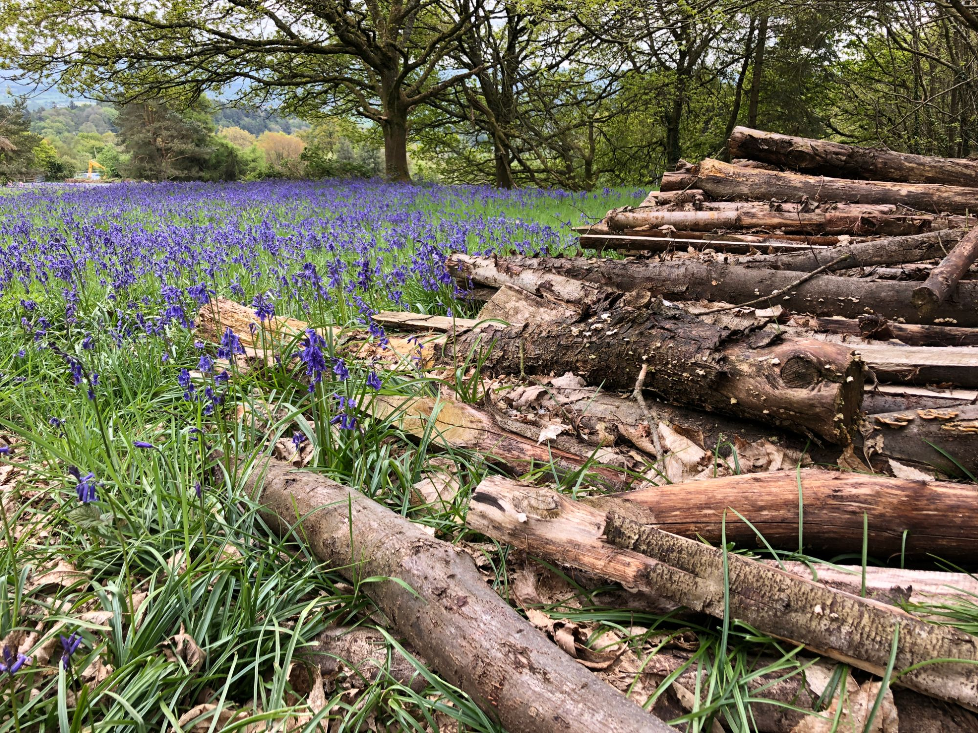 Free stock photo tree trunks pile bluebell field
