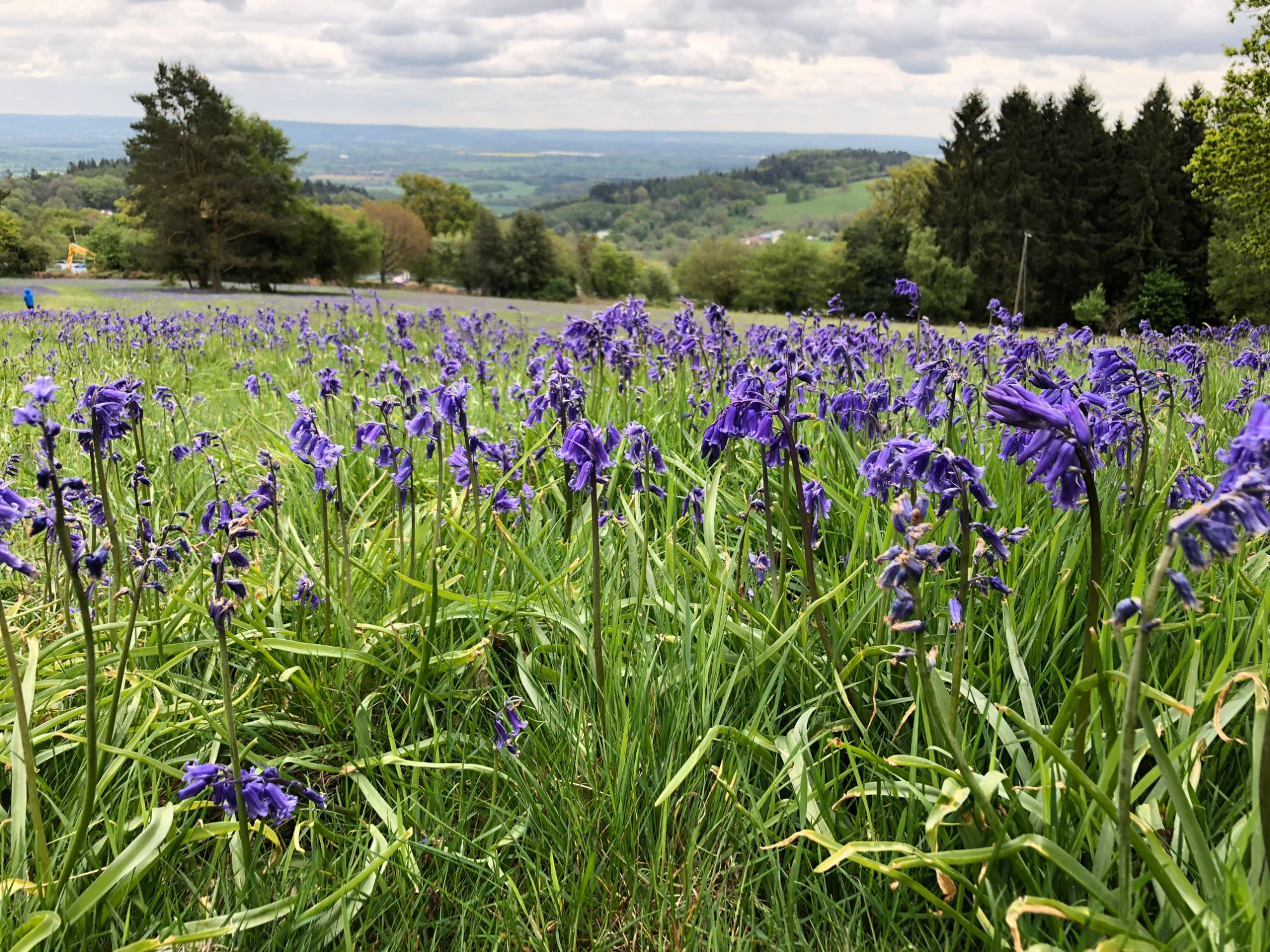 Free stock photo bluebells countryside view