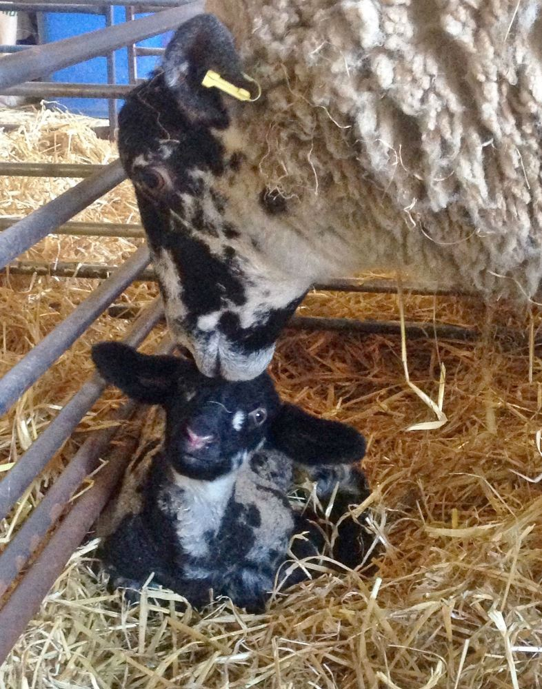 lamb with mother feb16