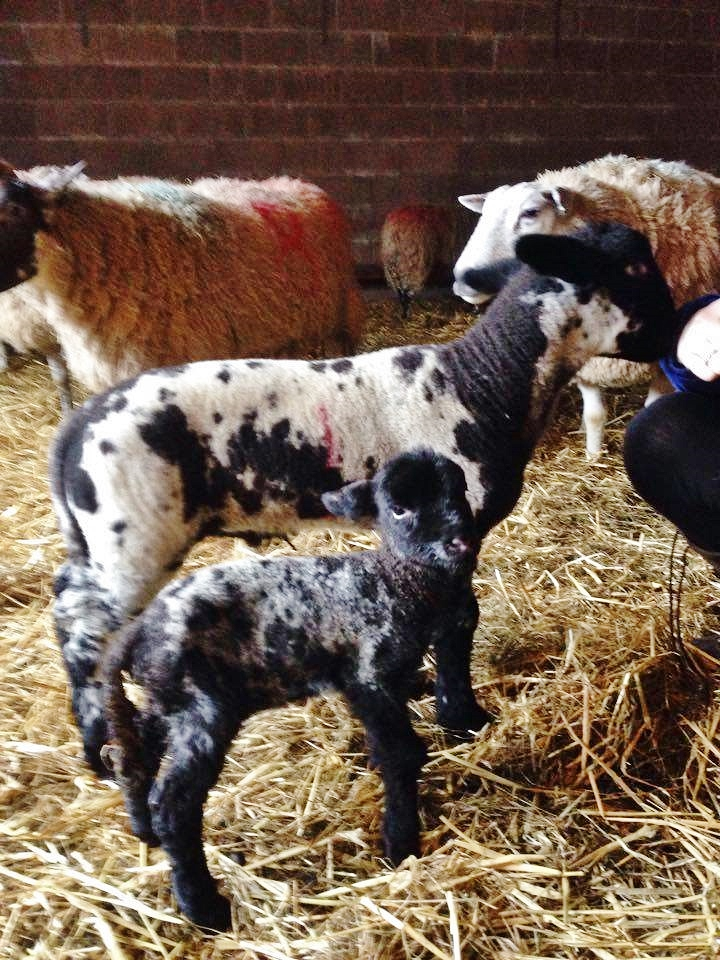 single lamb and quad lamb