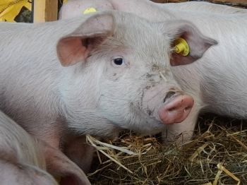 pig1 2016