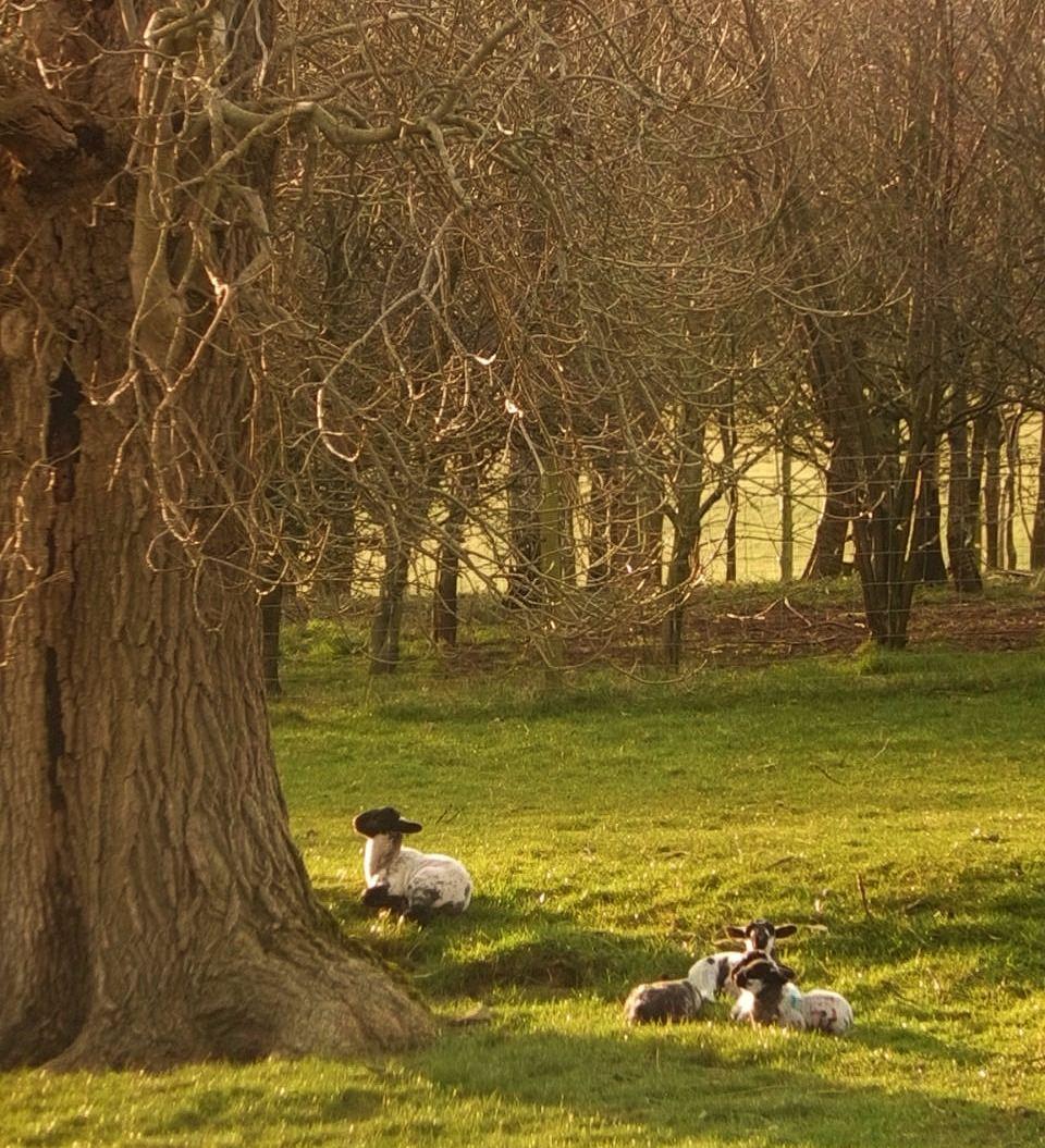 Lamb enjoying sunshine at Thornbrook Barn, Thornton-in-Lonsdale