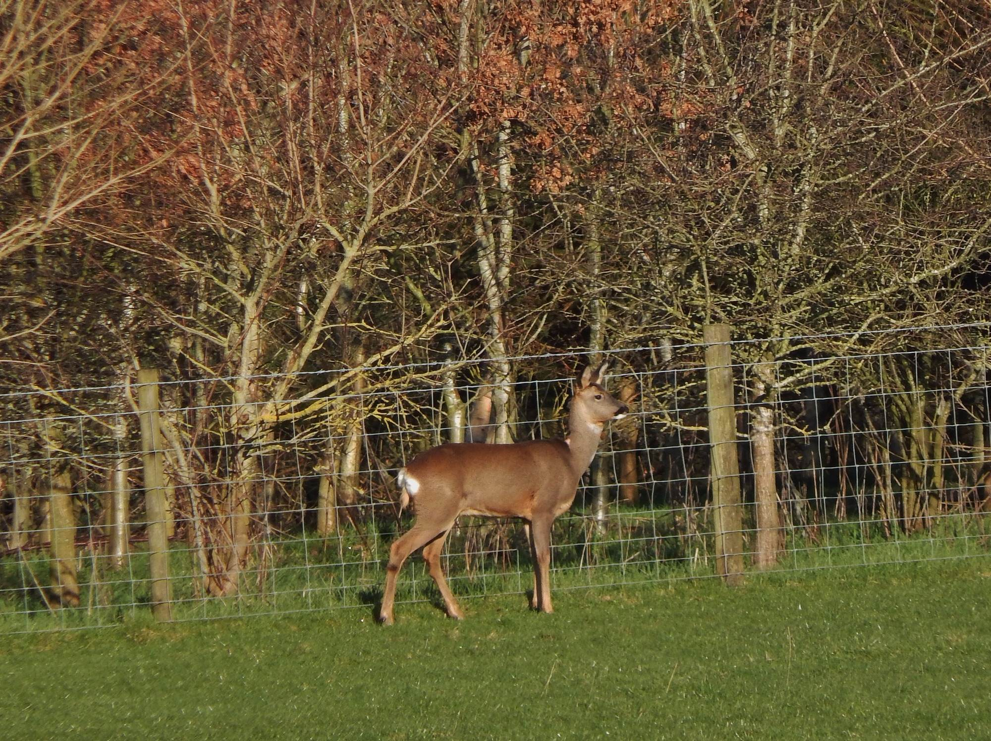 Roe Deer at Thornbrook Barn