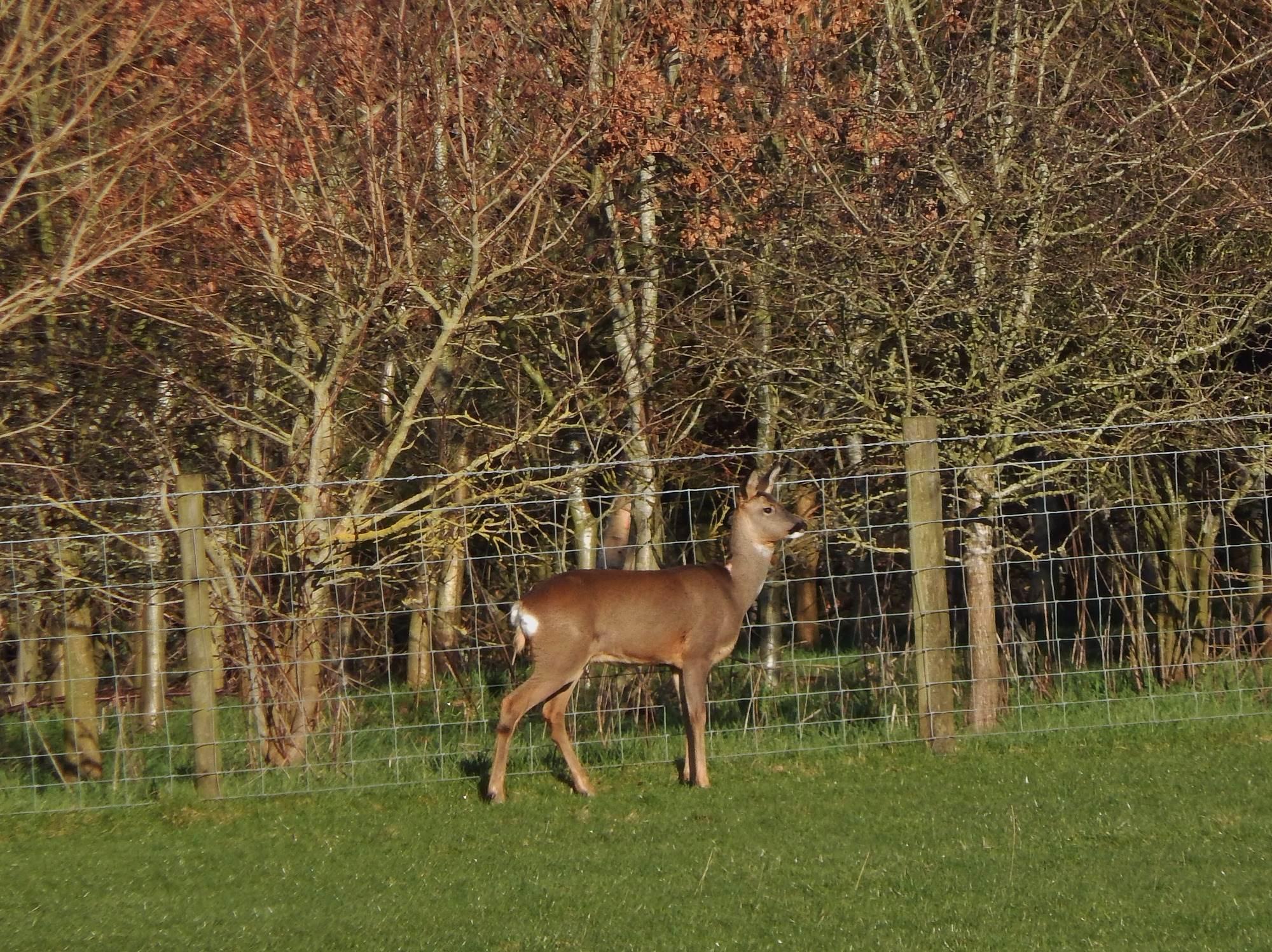 Roe Deer at Thornbrook Barn
