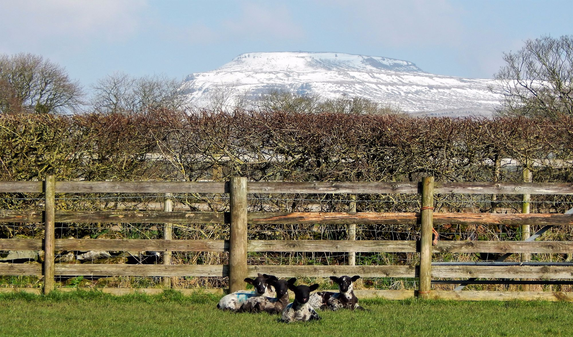 Spring Snow and Spring Lambs at Thornbrook Barn