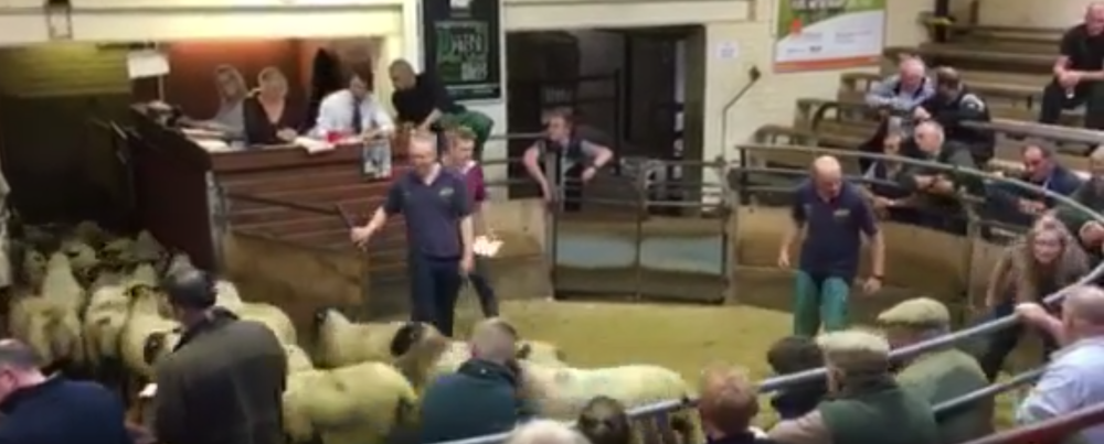 Auction Sale lambs exit ring