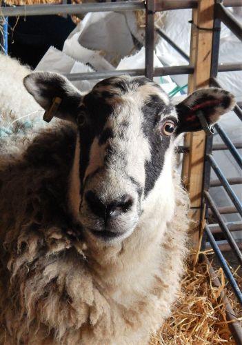 12.2.18 sheep