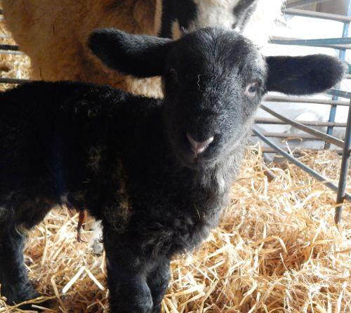 new lamb 12.02.18