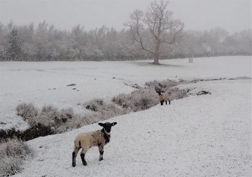 Suffolk Cross lambs in the snow