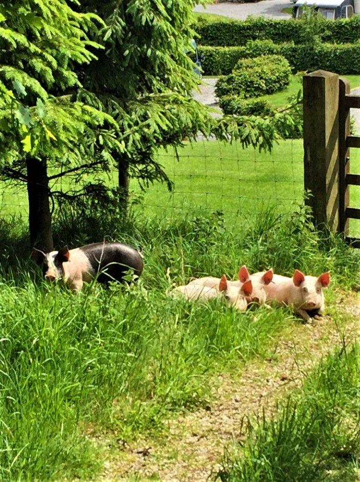 Thornbrook Barn Piglets 2019