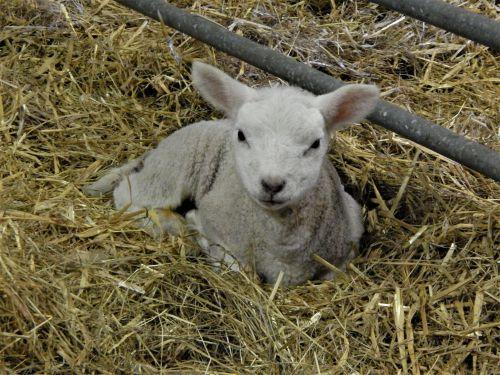Lamb 2020