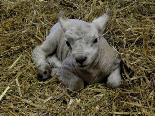 Lamb 2 2020