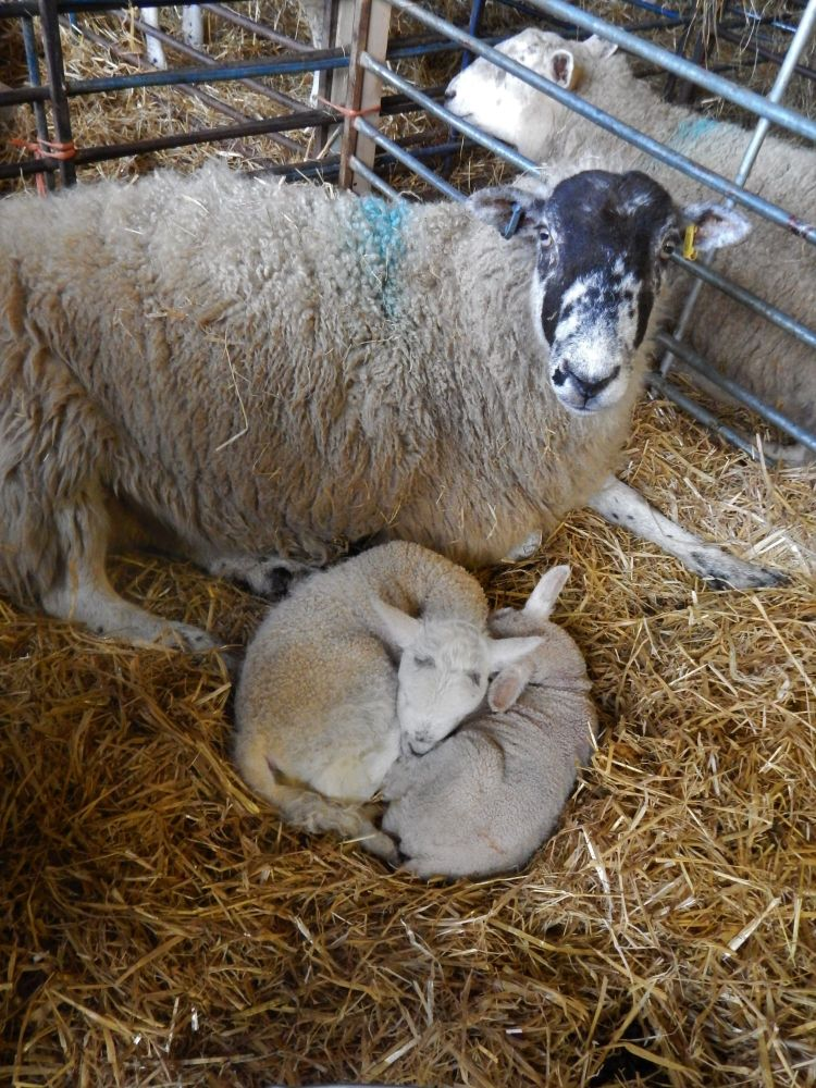 Sheep with own lamb and adopted one